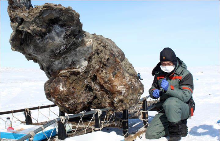 Туша мамонта вмерзла в лед