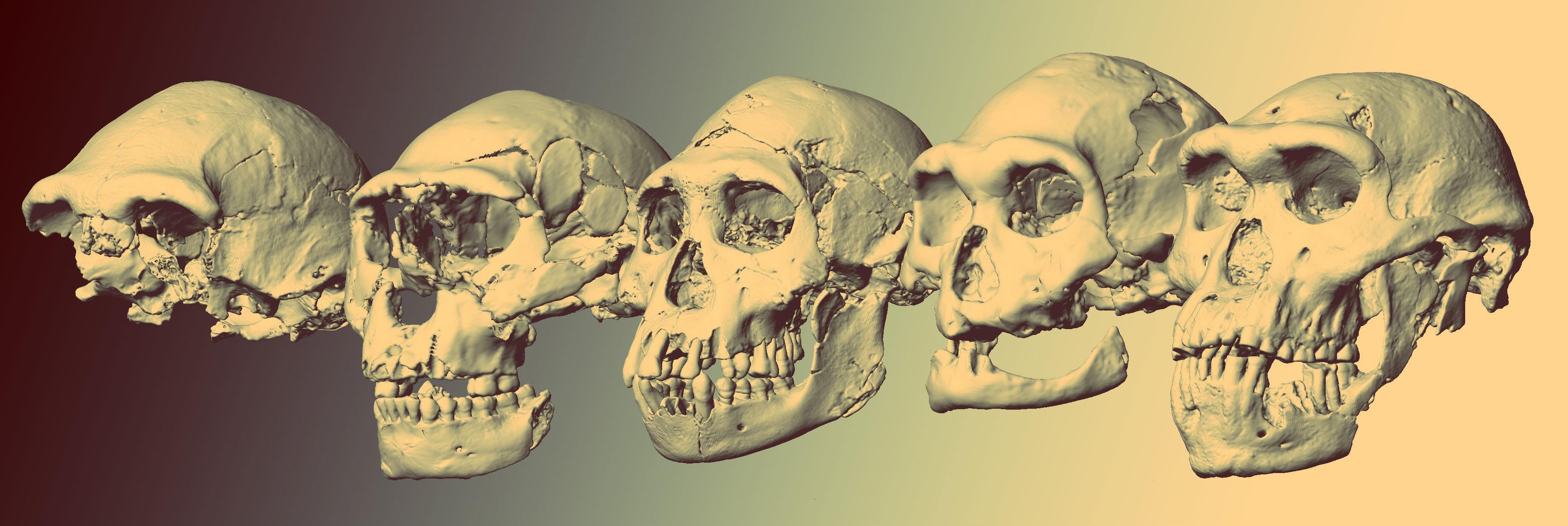 Homo sapiens возник благодаря снижению тестостерона