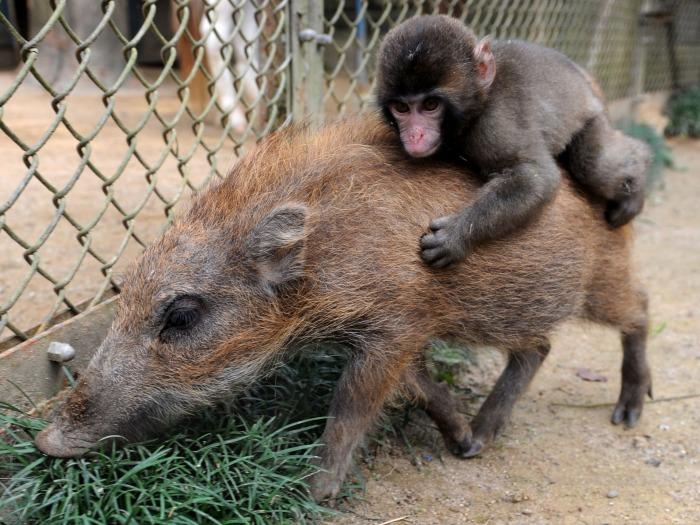 Биолог предположил, что мы произошли от обезьян и свиней