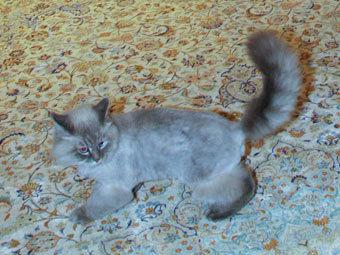 Кот Дорофей — породы невская маскарадная