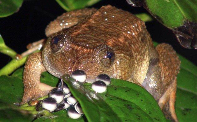 Двенадцать видов лягушек найдены в Индии