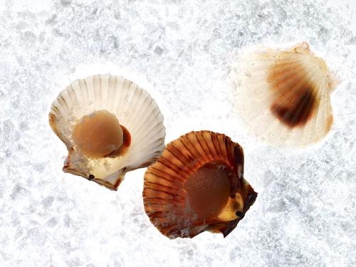 Морские гребешки восстанавливают мышечные волокна