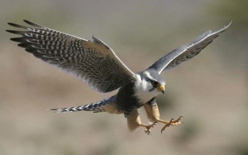 Соколы охотились на голубей-почтальонов