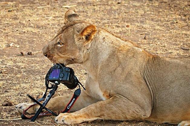 Твердый и костлявый: львица Зимбабве с опаской пробует фотоаппарат