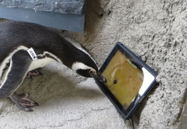 Пингвинам понравилось гоняться за мышкой