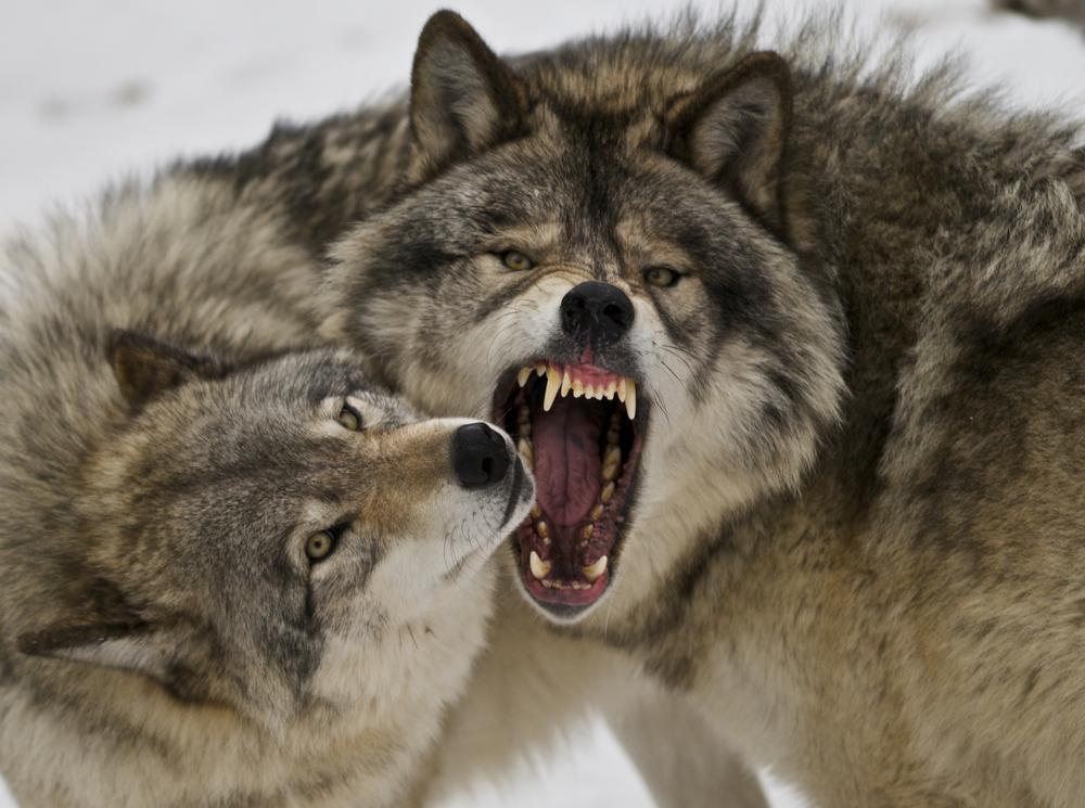 Картинки волки - 2a