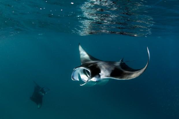 Морской дьявол питается планктоном