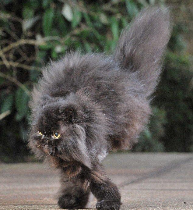 Никто не верил, что кот будет ходить