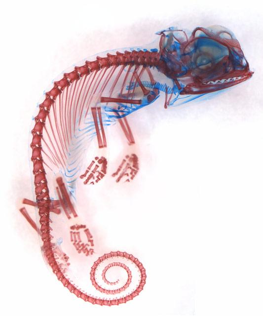 6 место. Эмбрион хамелеона. Хрящи (синий) и кости (красный). Dorit Hockman