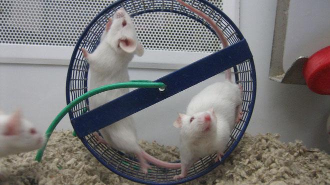 Пока эксперимент проводили над мышами