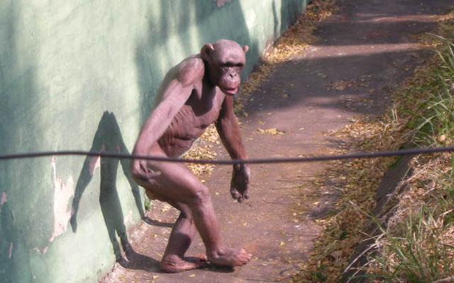 Многие верили, что Оливер — гибрид шимпанзе и человека