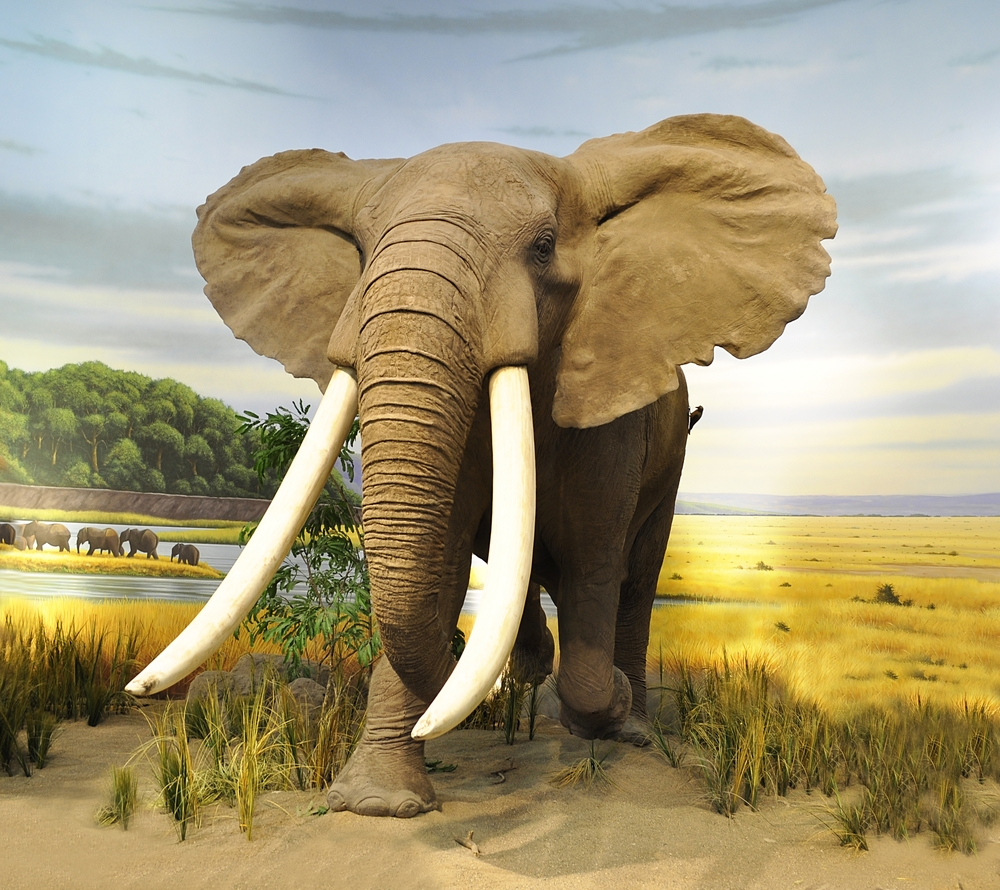 Слон — длина бивня около 2,5 метров
