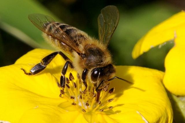 Пчелы под угрозой исчезновения