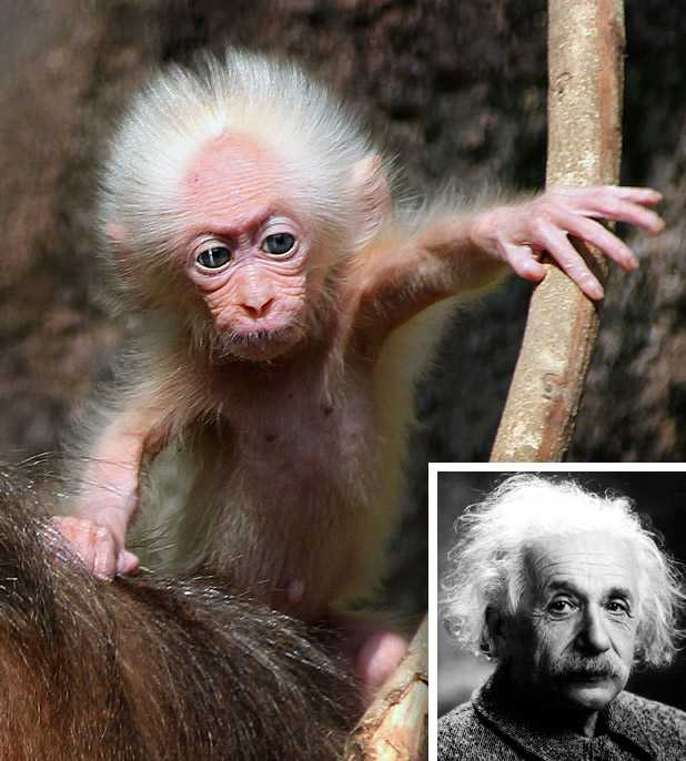 Обезьянка Эйнштейн