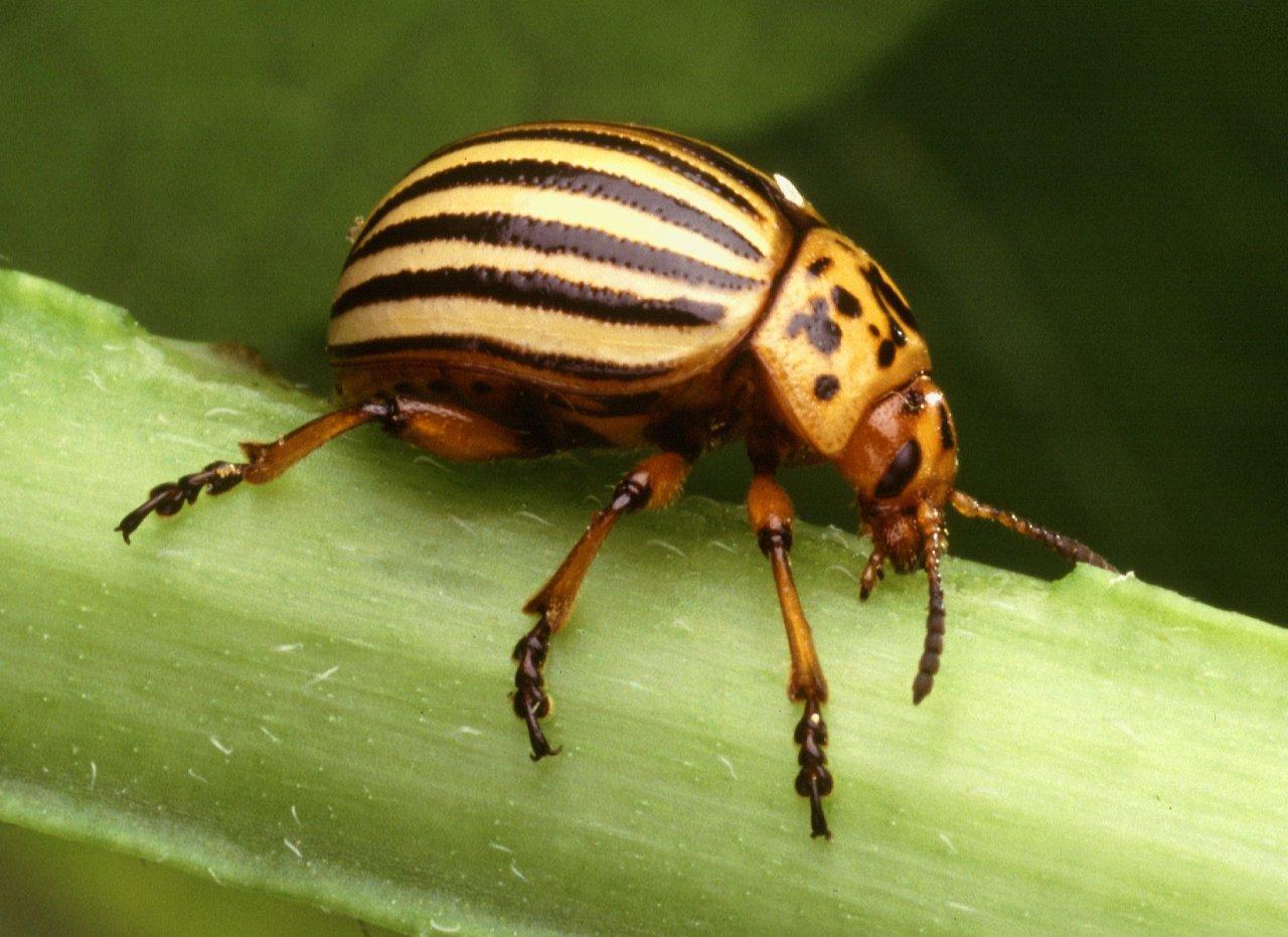Колорадский жук — жуткий агрессор