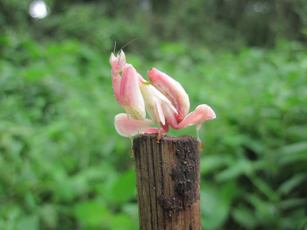 Розовый орхидейный богомол