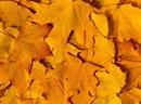 Кленовые листья - Природа - Обои для рабочего стола - Загрузка...