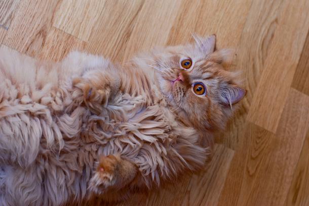 Великан: орет кот что делать.