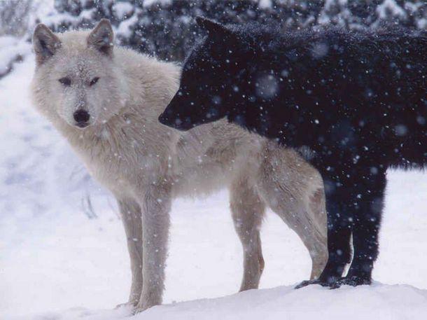 Картинки по запросу черный и белый волк