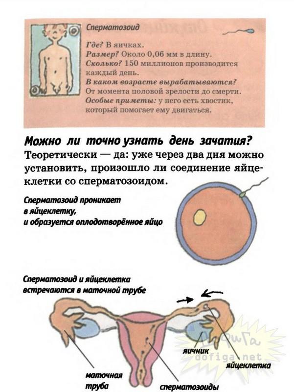 vremya-vizrevaniya-spermatozoidov