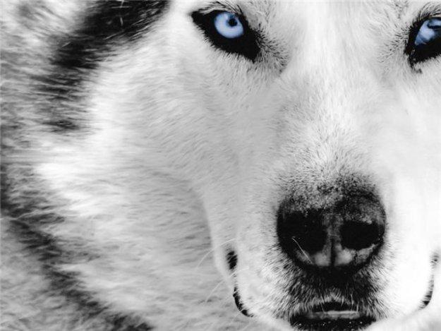 Хаски - добродушие и благородство собаки-волка