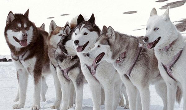 """Происхождение В Канаде  """"хаски """" называют любую ездовую собаку с хриплым..."""