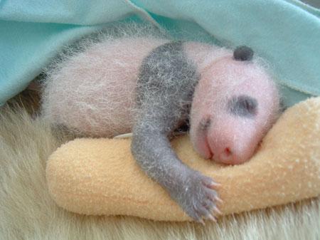 Жизнь маленькой панды