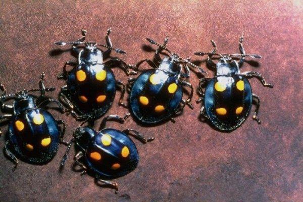 Окружающий мир через фотообъектив - Insects: Coleoptera (Насекомые: Жуки) Ч. Окружающий мир через фотообъектив.