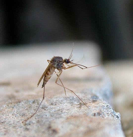"""Вот же мерзкое насекомое - комар.  Его отвратительное  """"з-з-з """" действует..."""