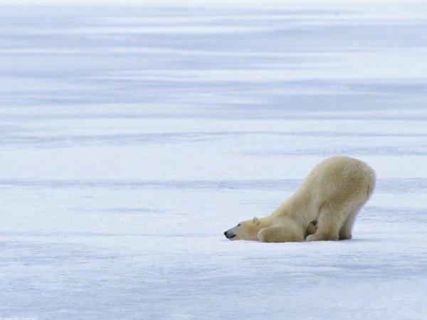 """Белый медведь устал  """" Фото животных."""