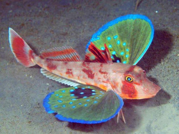 Морской петух рыбаы