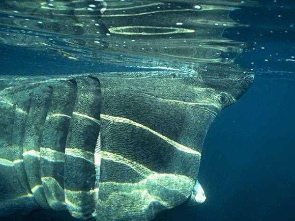 IV.  Pisces-02.  Хрящевые рыбы.