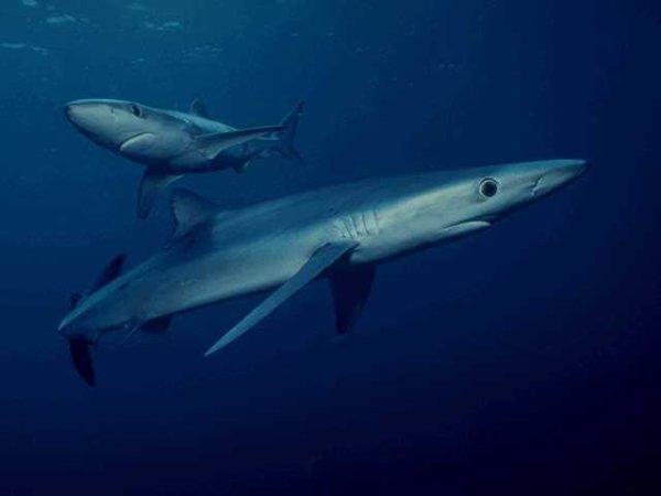 Большинству акул (большая белая, синяя, рыба-молот) приходиться...