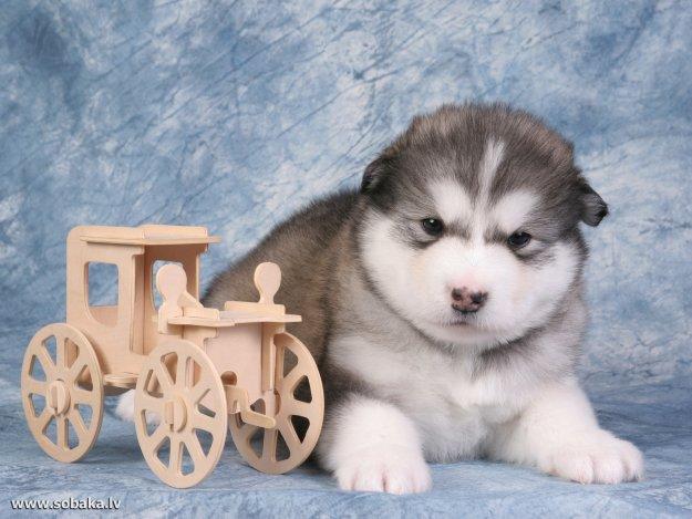 Вот ещё картинки собак породы Лайка и Лабрадор Ретривер.