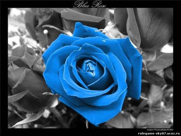 Синяя роза - обои, фото, картинки на черно белом.