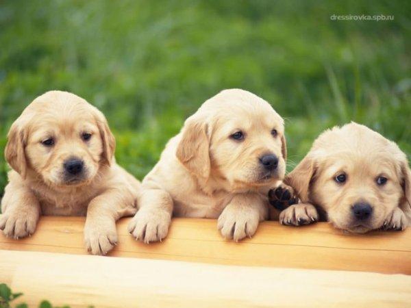 Три щенка.