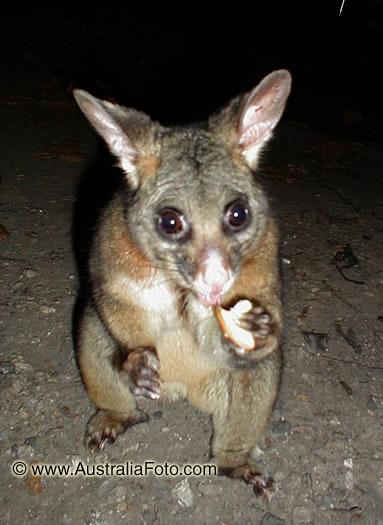 Поссумы это небольшие, размером с кошку, австралийские животные. Их
