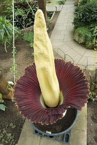 Аморфофаллус гигантский (Amorphophallus titanum)