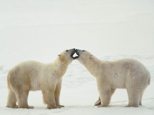 Белые животные северного полюса мы