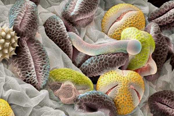 Пыльца растений под микроскопом
