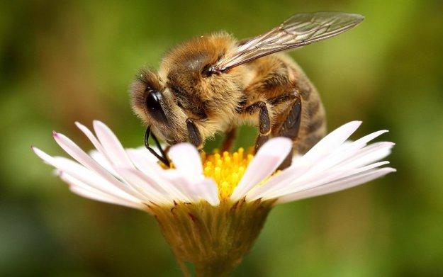 Картинки пчелки на цветах 7