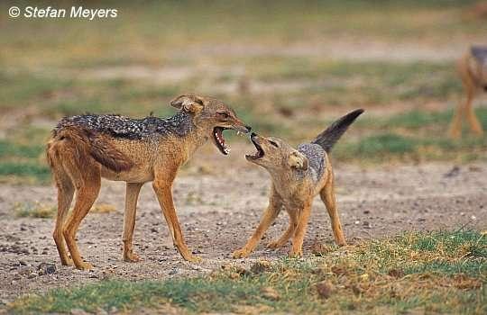 Стаи чепрачных шакалов сопровождают львов, леопардов и гиен в надежде.