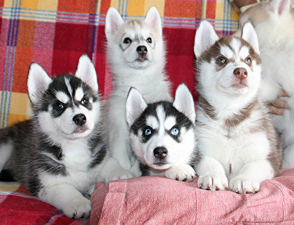 Щенки сибирского хаски, хаски сибирский, щенки.
