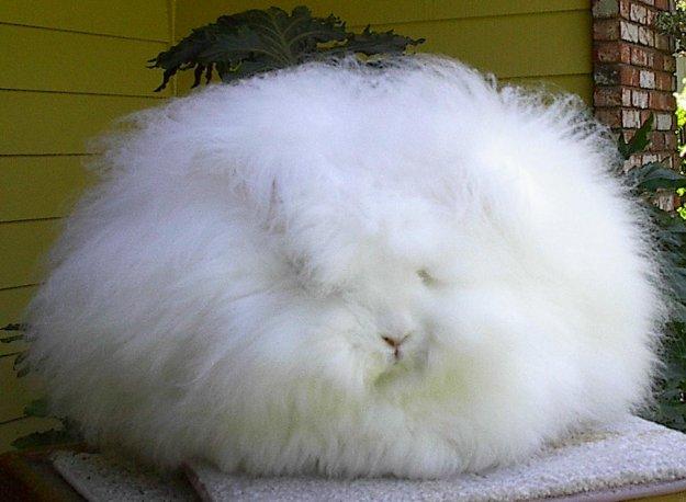 Ангорские пушистые кролики