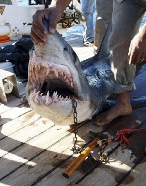 Акула-людоед в Египте (5 фото).  Поделиться. просмотров: 1984 / автор...