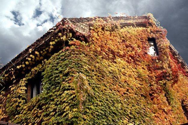 Осенние дома заросшие плющом