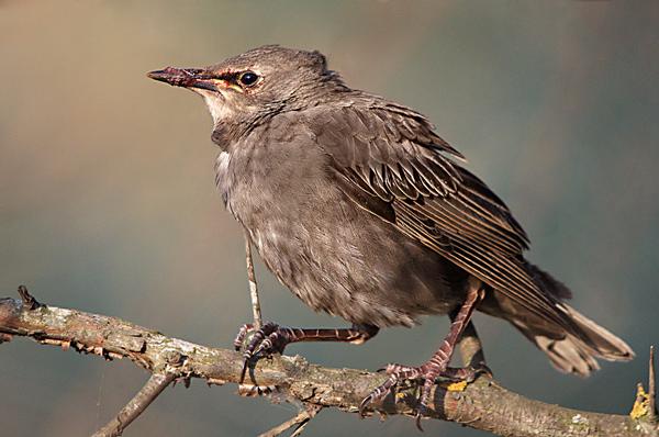 определитель птиц украины