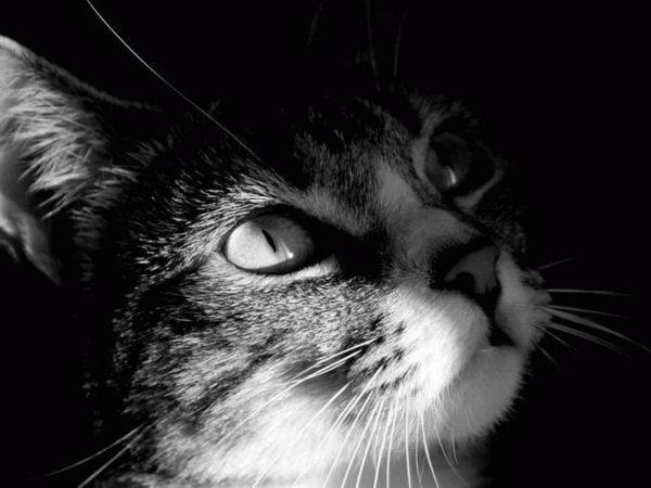 кошки картинки черно белые