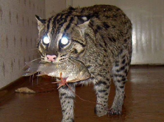 кот рыболов можно ли держать дома