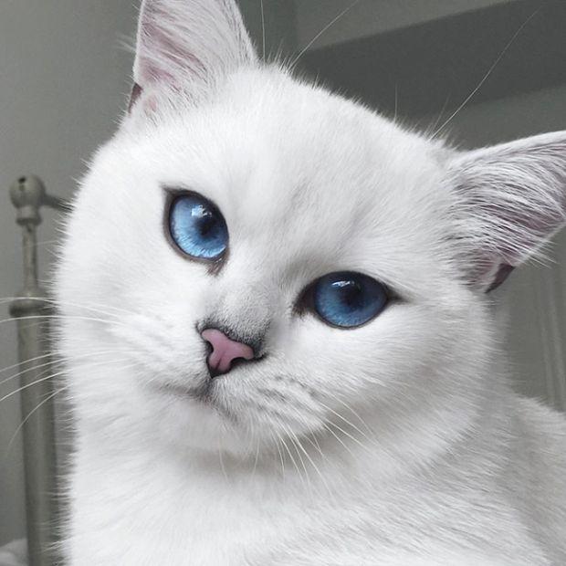 коби кот фото цена